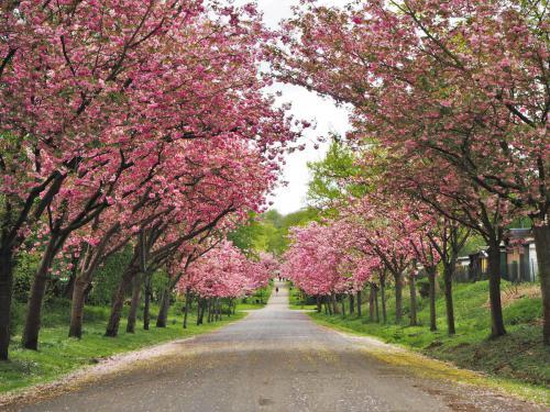 Kirschblüte im Aquarienweg